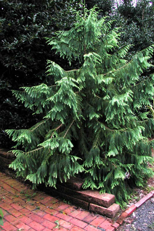 Taiwania cryptomerioides (Taiwan coffin cypress)