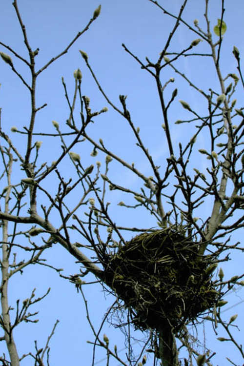 Bird's nest in a magnolia