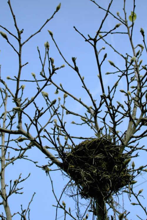 Bird's nest in a magnolia
