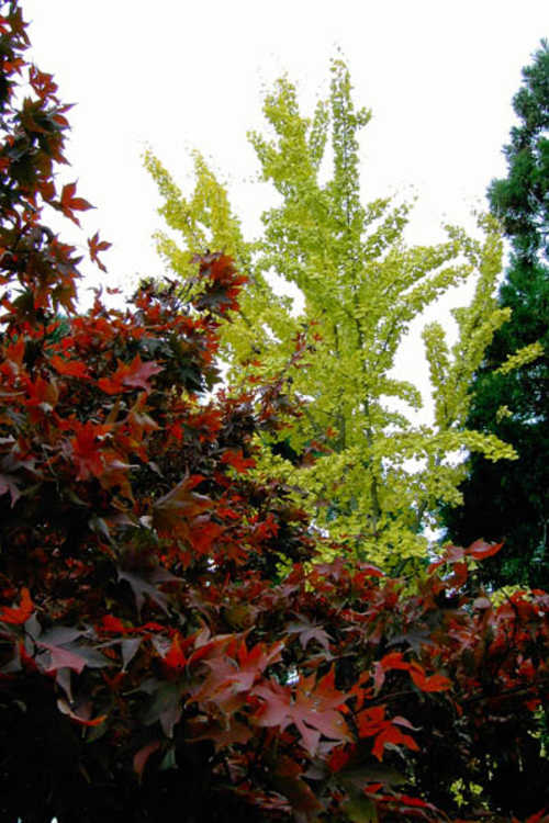 Acer palmatum 'Oshio beni' (scarlet Japanese maple) and Ginkgo biloba (maidenhair tree)