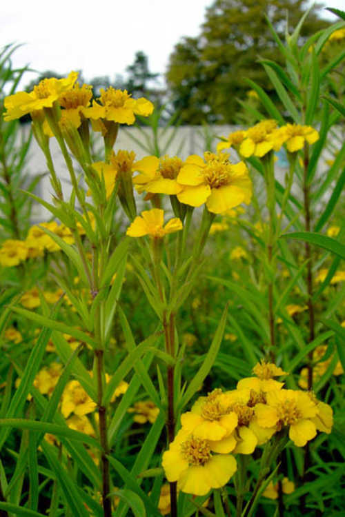 Tagetes lucida (sweet-scented Mexican marigold)