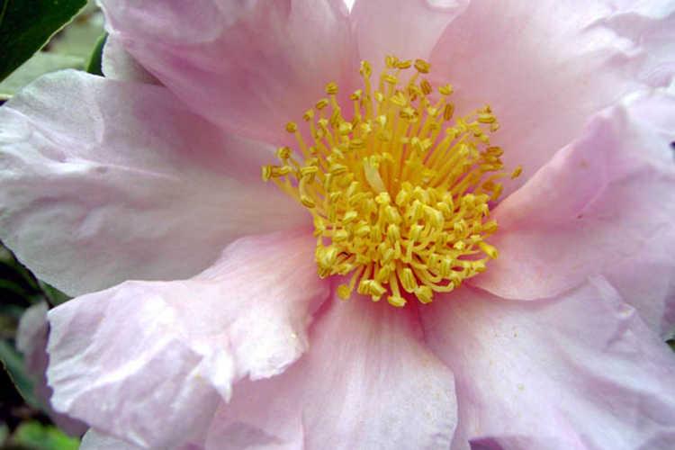Camellia 'Winter's Dream' (Ackerman hybrid camellia)
