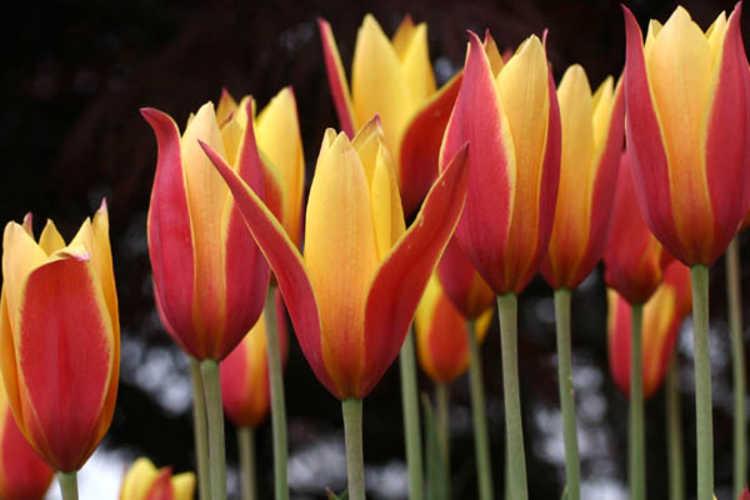 Tulipa clusiana var. chrysantha 'Tubergen's Gem' (golden lady tulip)