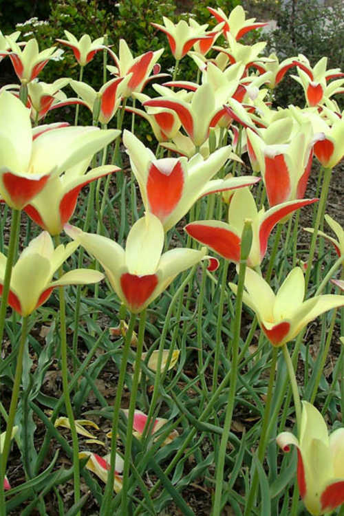 Tulipa clusiana var. chrysantha (golden lady tulip)