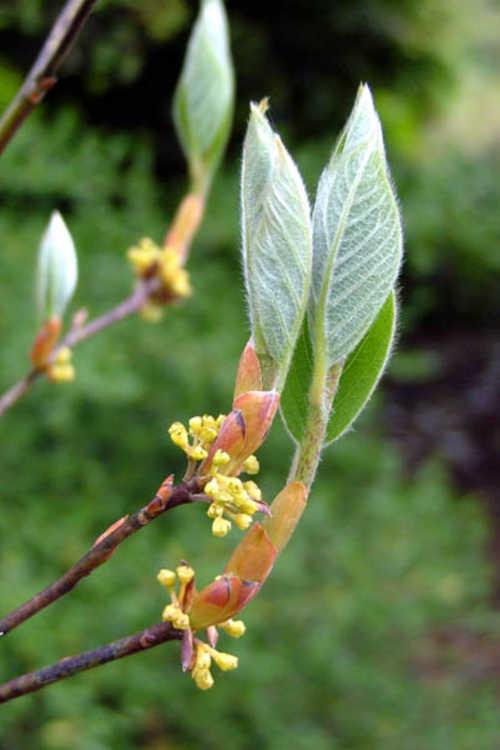 Lindera reflexa (mountain spicebush)