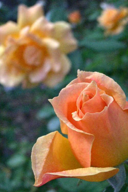 Rosa 'Harflow' (Easy Going floribunda rose)
