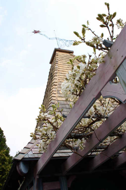 Wisteria venusta (silky wisteria) - The Necessary with Wisteria on arbor