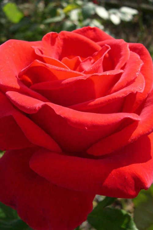 Rosa 'Jacopper' (Veteran's Honor tea rose)