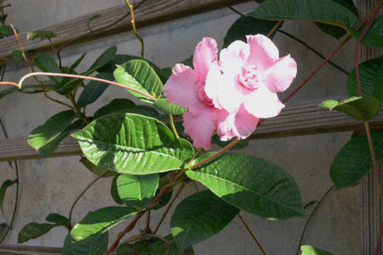 Mandevilla ×amabilis 'Rita Marie Green' (Pink Parfait® double-flowered mandevilla)