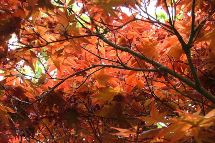Acer palmatum (Japanese maple)
