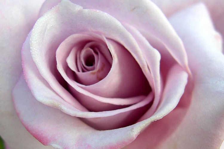 Rosa 'Wezip' (Paradise hybrid tea rose)
