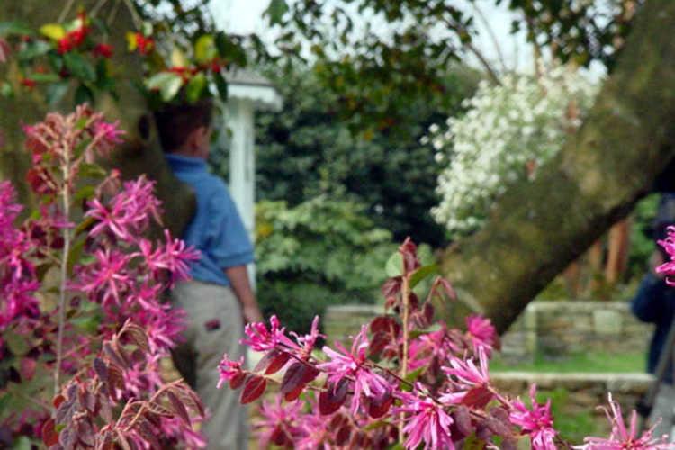 Loropetalum chinense var. rubrum (pink Chinese fringe-flower)