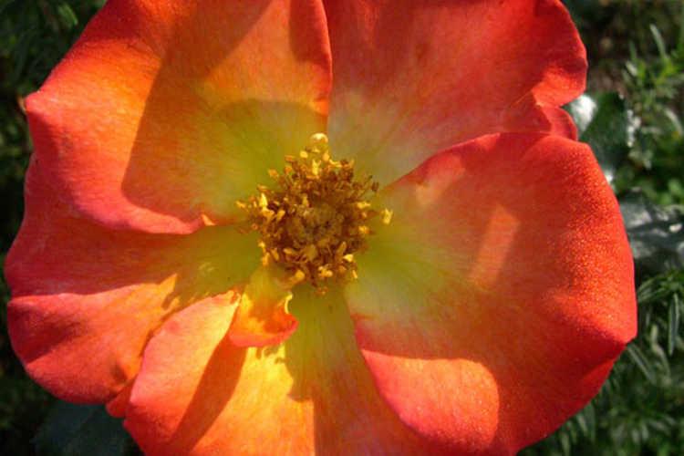 Rosa 'Playboy' (floribunda rose)
