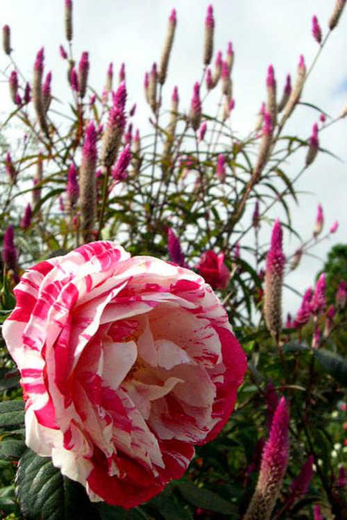 Rosa 'Wekplapep' (Scentimental floribunda rose)