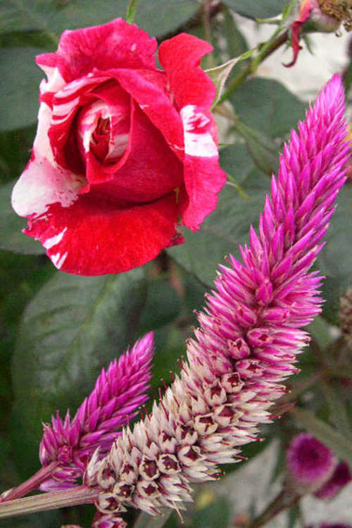 Celosia argentea var. argentea Spicata Group (wheatstraw celosia) and Rosa 'Wekplapep' (Scentimental floribunda rose)