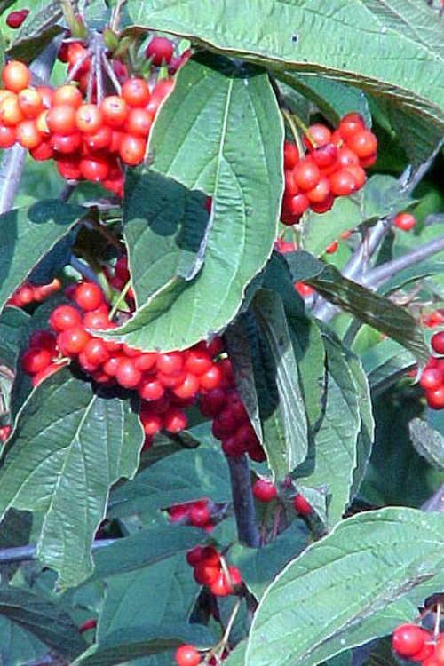 Viburnum setigerum (tea viburnum)