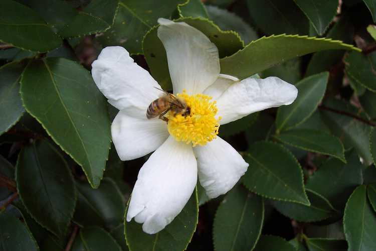 Camellia oleifera × C. sasanqua (hardy camellia)