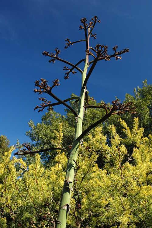 Agave parryi subsp. parryi var. huachucensis (Fort Huachuca barrel agave) and Pinus virginiana 'Wate's Golden' (wintergold Virginia pine)