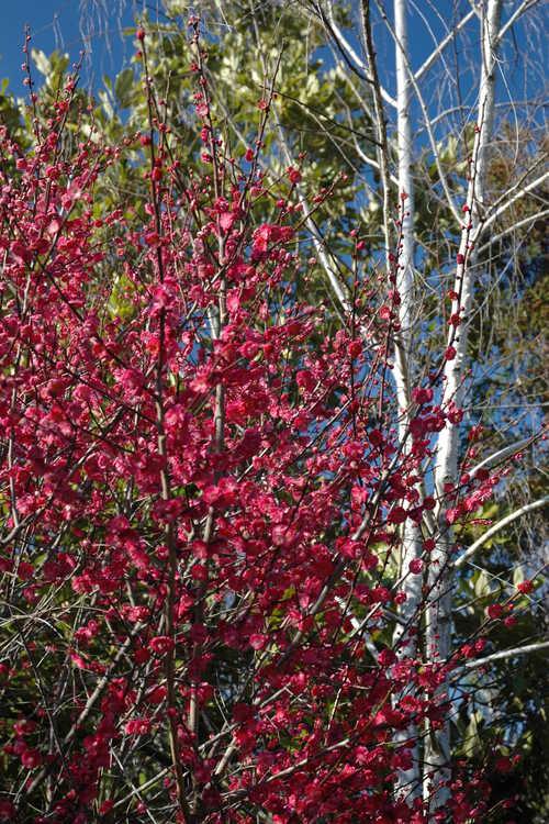 Prunus mume 'Matsurabara Red' (red Japanese flowering apricot)