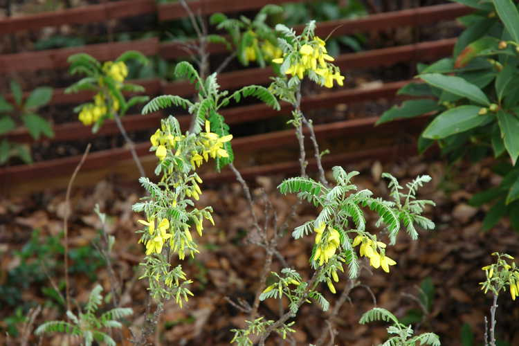 Sophora koreensis (Korean necklace-pod) - Pretty plant, ugly photograph!