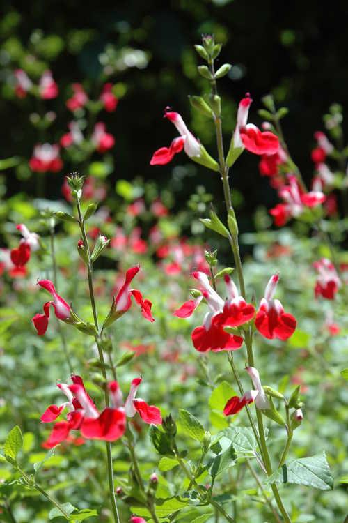 Salvia microphylla 'Hot Lips' (bicolor baby sage)