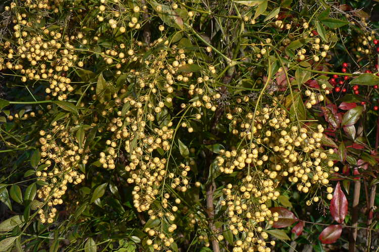 Nandina domestica 'Leucocarpa' (yellow-berried heavenly bamboo)