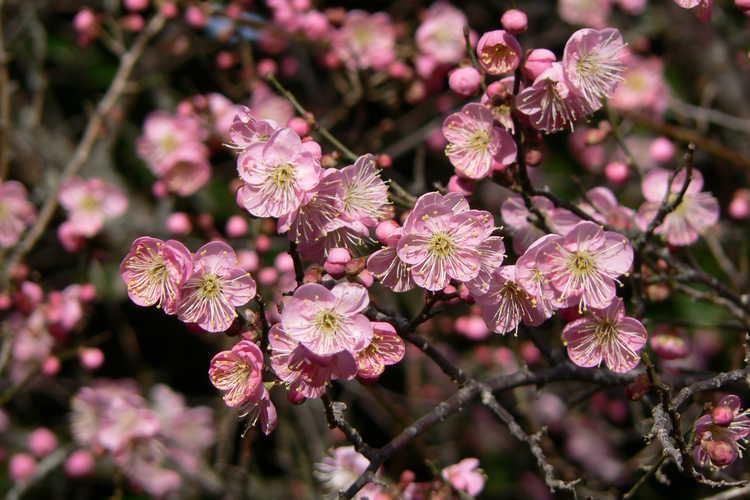 Prunus mume 'Pink Glow' (pink Japanese flowering apricot)
