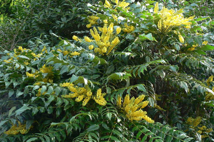 Mahonia ×media 'Underway' (grapeholly)