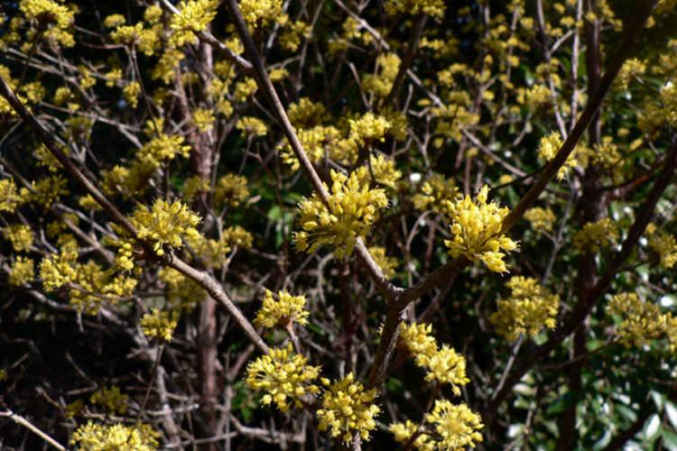 Cornus officinalis 'Kintoki' (dwarf Japanese cornel)