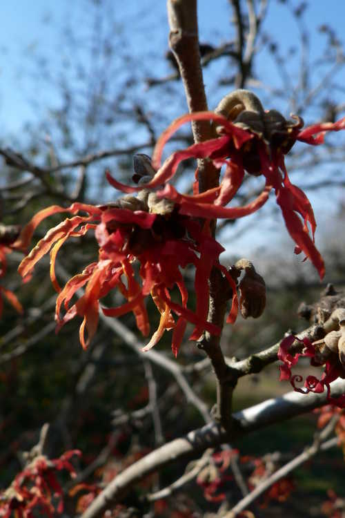 Hamamelis ×intermedia 'Diane' (red common witchhazel)
