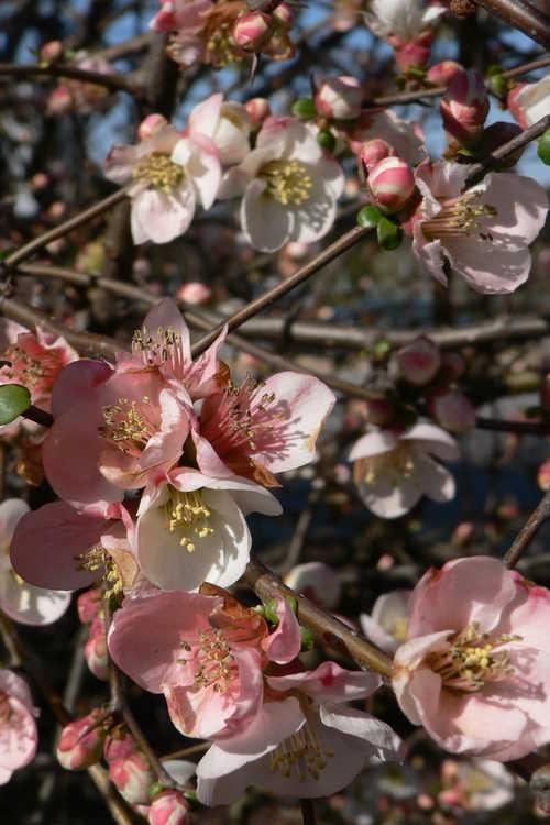 Chaenomeles speciosa 'Toyo Nishiki' (flowering quince)