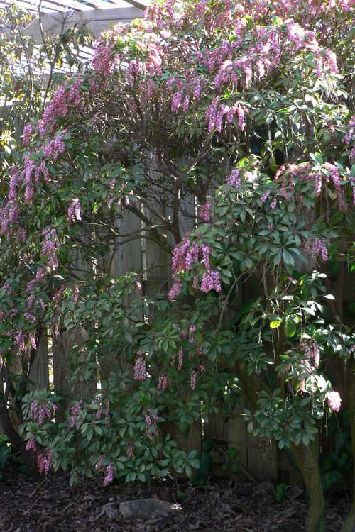 Pieris japonica 'Shojo' (red Japanese andromeda)
