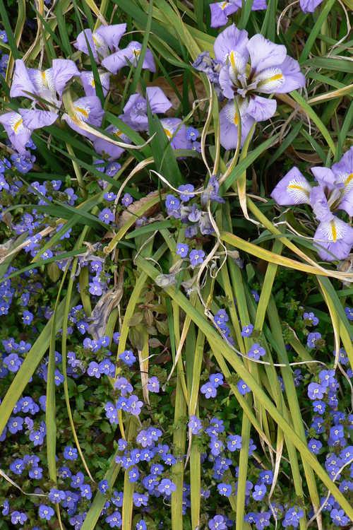 Iris unguicularis (winter flowering iris) and Veronica umbrosa 'Georgia Blue' (creeping veronica) - Winter Garden