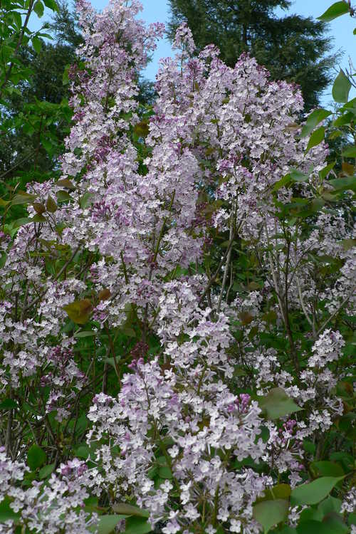 Syringa oblata subsp. dilatata (Korean early lilac)