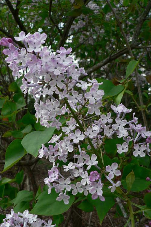 Syringa oblata subsp. dilatata (Korean early lilac)