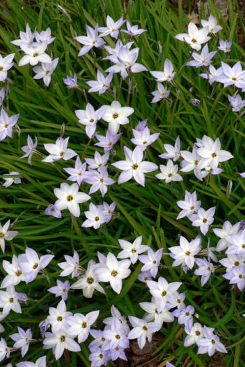 Ipheion uniflorum (spring star flower)
