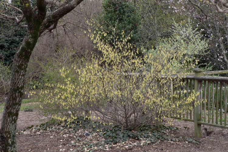 Corylopsis glabrescens var. gotoana (fragrant winterhazel)