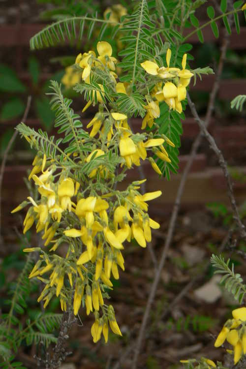 Sophora koreensis (Korean necklace-pod)