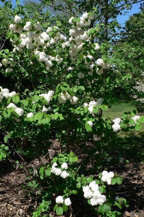 Viburnum plicatum 'Popcorn' (Japanese snowball viburnum)