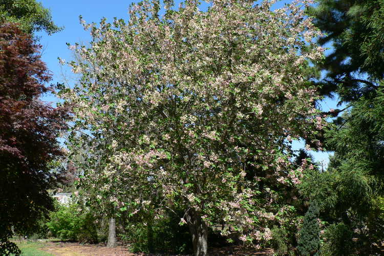 Prunus 'Ukon' (green-flowering cherry)