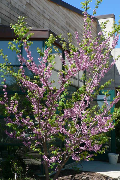 Cercis canadensis 'Flame' (double-flowered eastern redbud)