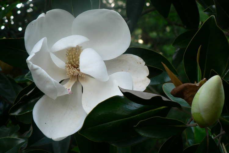 Magnolia grandiflora 'Little Gem' (Southern magnolia)