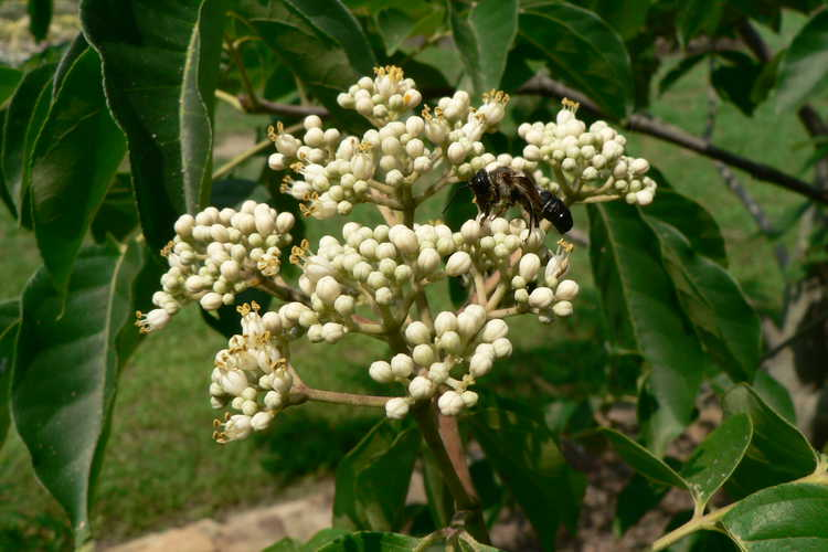 Tetradium baberi (Baber's bee-bee tree)