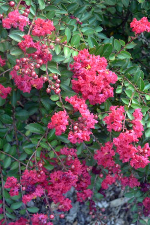 Lagerstroemia 'Gamad I' (Cherry Dazzle compact crepe myrtle)