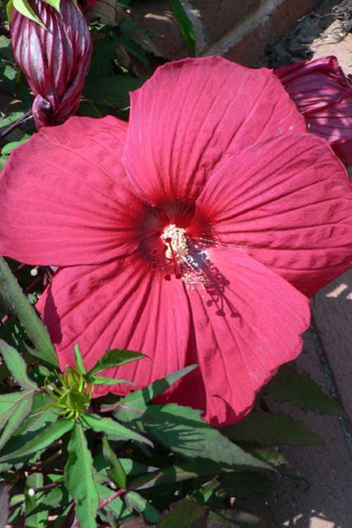 Hibiscus 'Fireball' (Fleming hybrid rose-mallow)
