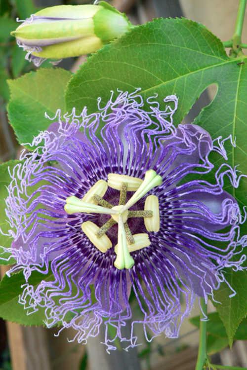 Passiflora 'Blue Eyed Susan'