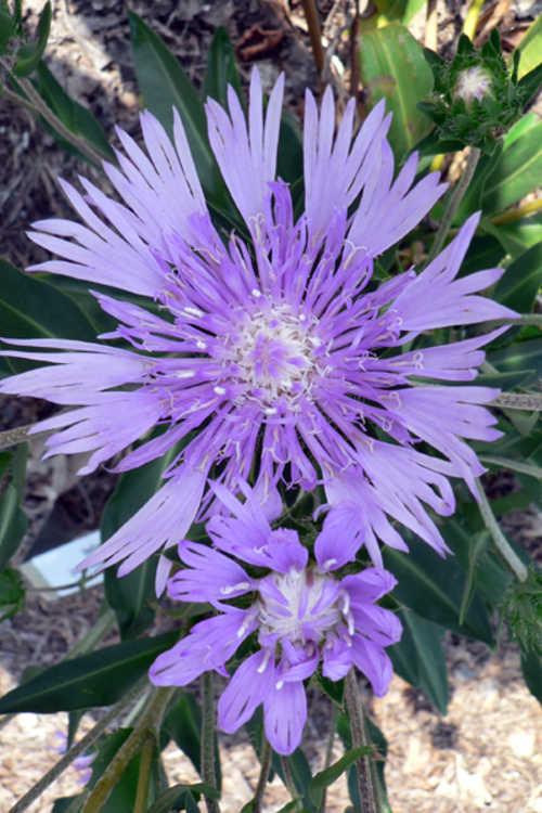 Stokesia laevis (purple) (purple Stokes' aster)