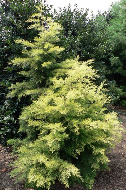 Cupressus arizonica 'Golden Pyramid' (golden Arizona cypress)