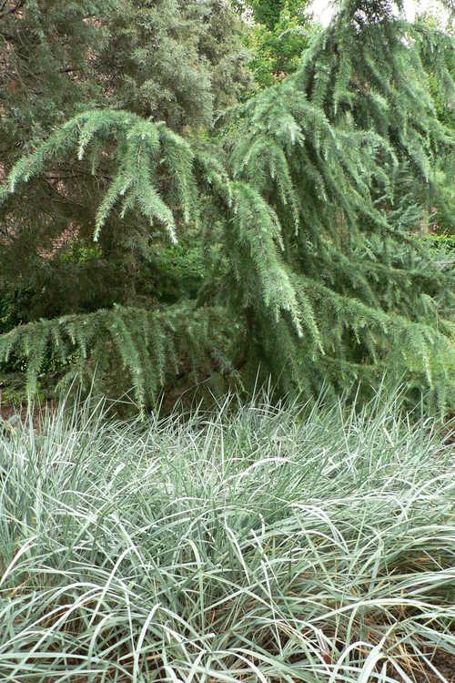 Cedrus deodara 'Crystal Falls' (weeping Deodar cedar) and Elymus racemosa (Volga wild rye)
