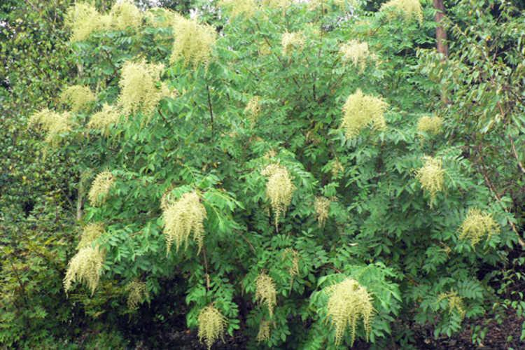 Rhus chinensis 'September Beauty' (Chinese sumac)